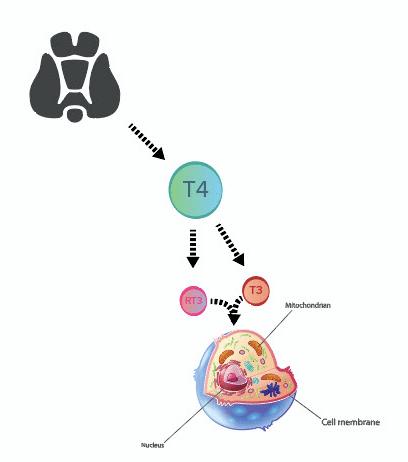 Thyroid Hormone Basics